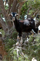 Goats in argan tree, near Essaouira, Morocco