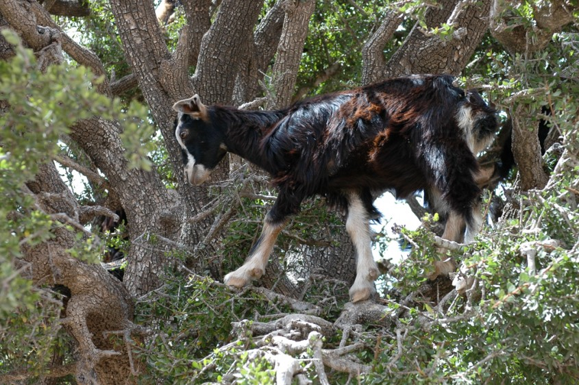 Goats in argan tree, near Essaouira, Morocco