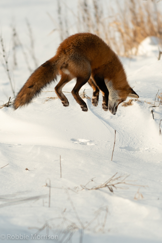 Fox Near Munster ON 17 Jan 2019-505